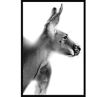 Red Kangaroo : Macropus rufus Photographic Print