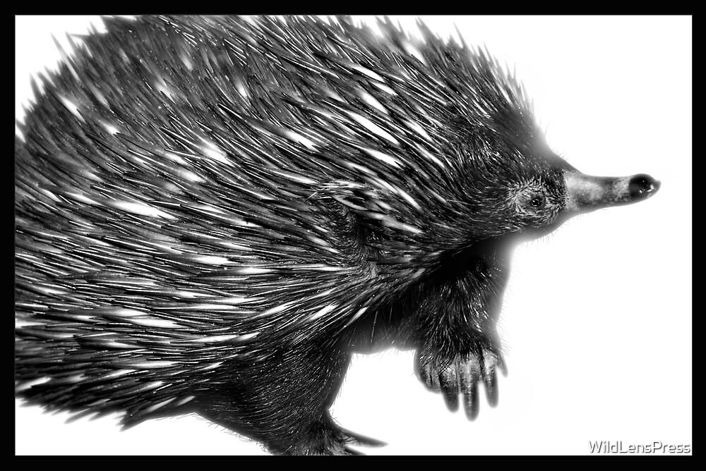 Echidna : Tachyglossus aculeatus by WildLensPress