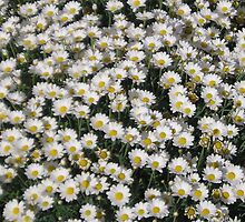 A Cloud of Daisys by manda
