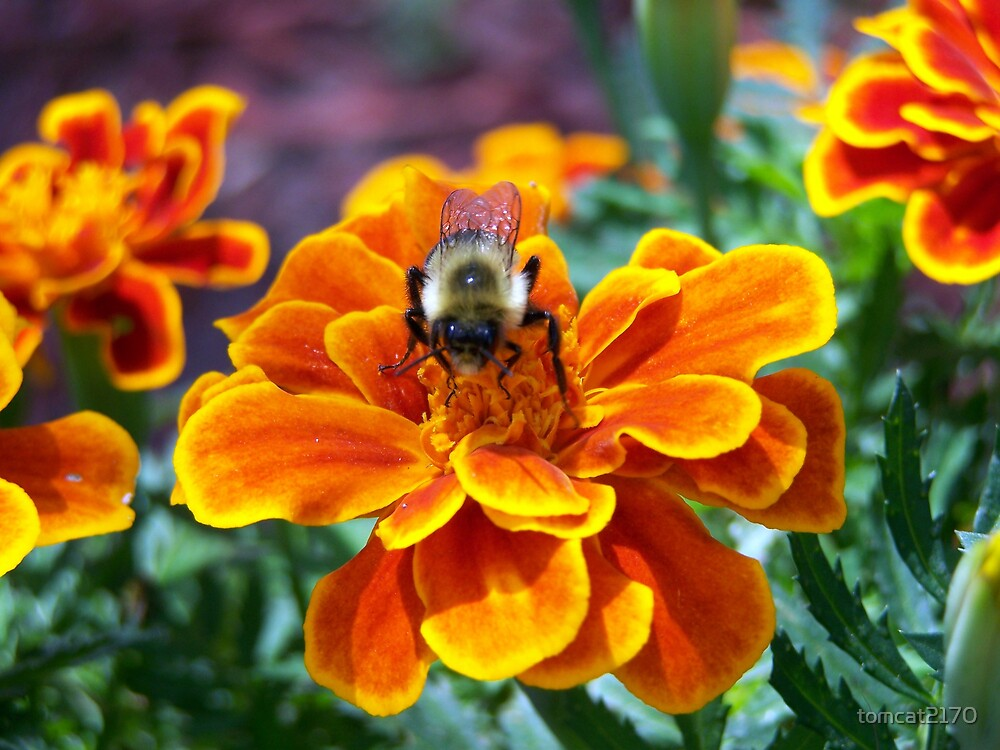 bumble bee v/s the marigold by tomcat2170