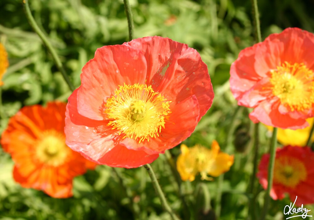 Poppys at the Toowoomba Carnival of Flowers by kaety