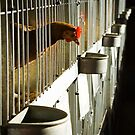 Rooster Cage by Chris Annable