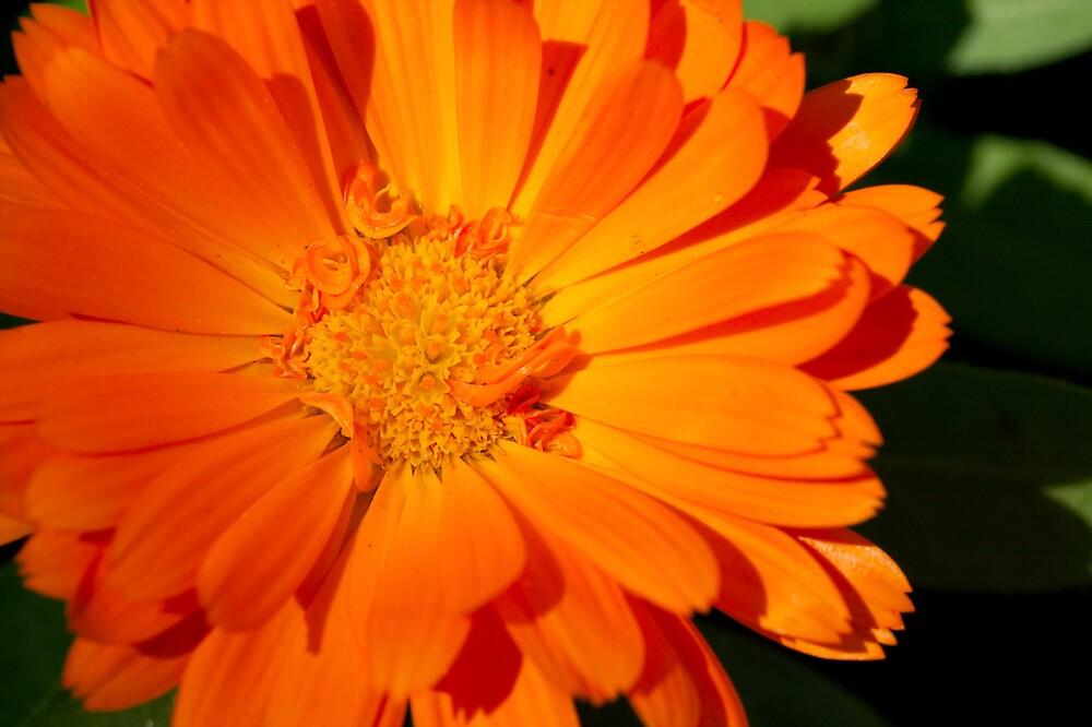 Flower of Orange by PsiberTek