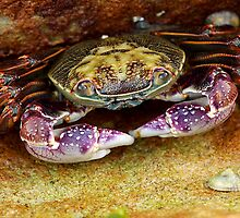 Manly Crab by W00DY