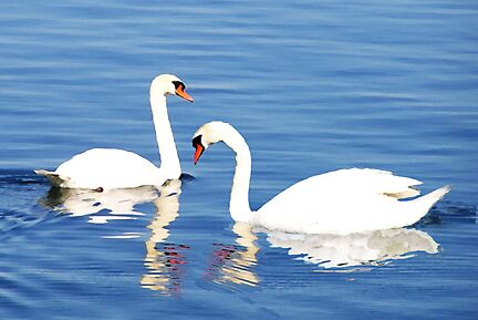Twin Swans by LindaLou1952