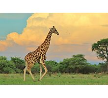 Giraffe - African Wildlife - The Rain is Coming Photographic Print