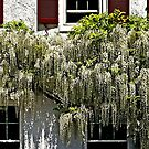 Wisteria Wall by cclaude