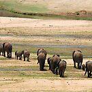 DESPERATELY SEEKING FOOD - The African Elephant Loxodonta Africana by Magriet Meintjes