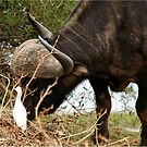 ANYTHING TO EAT? - The Buffalo - Syncerus caffer  by Magriet Meintjes
