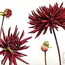 Red Dahlias by Helen Lush
