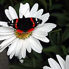 butterfly on flower by Steve