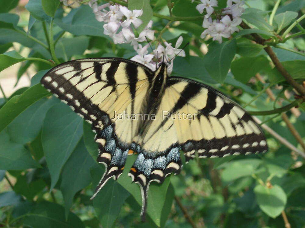 Beautiful Butterfly by Johanna  Rutter
