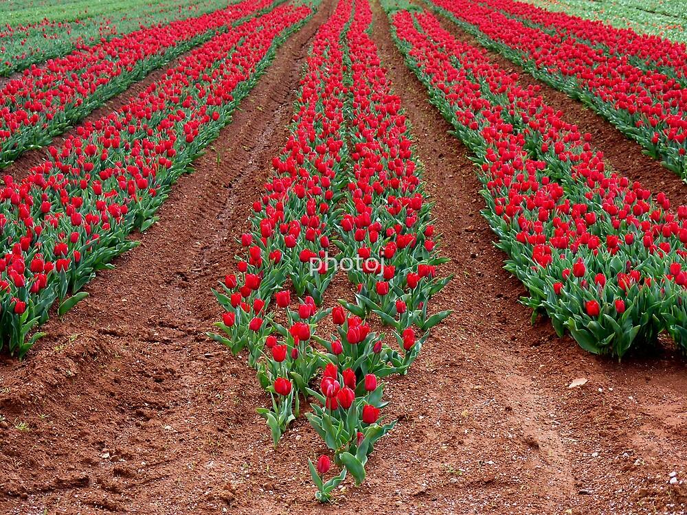 Tas Nth-Table Cape, Tulip Field by photoj