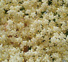 Elder flowers by frommyhorizon