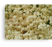 Elder flowers Canvas Print