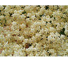Elder flowers Photographic Print