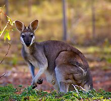 mummy wallaby by diddle
