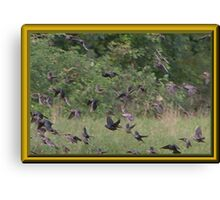 Cowbirds are in This Flock Canvas Print