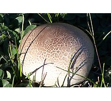 Puff Ball Fungus Photographic Print