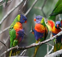 Rainbow lorikeets by Phil Atkinson