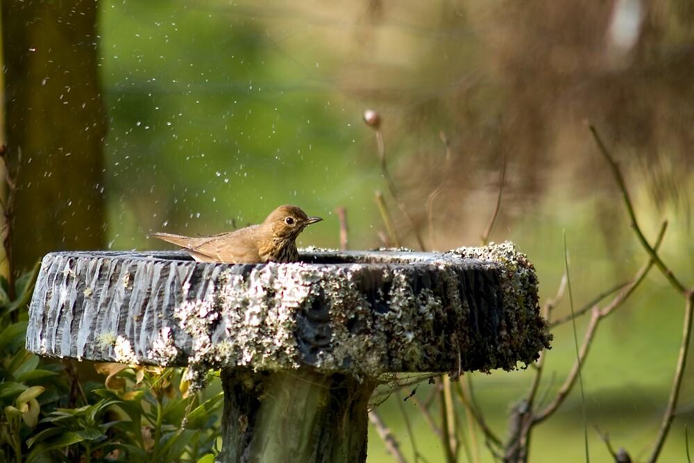 Thrush in Birdbath by J Harland