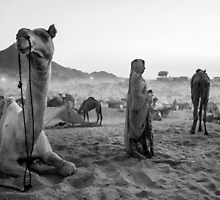 Camel Festival at Dusk by Robert Larson
