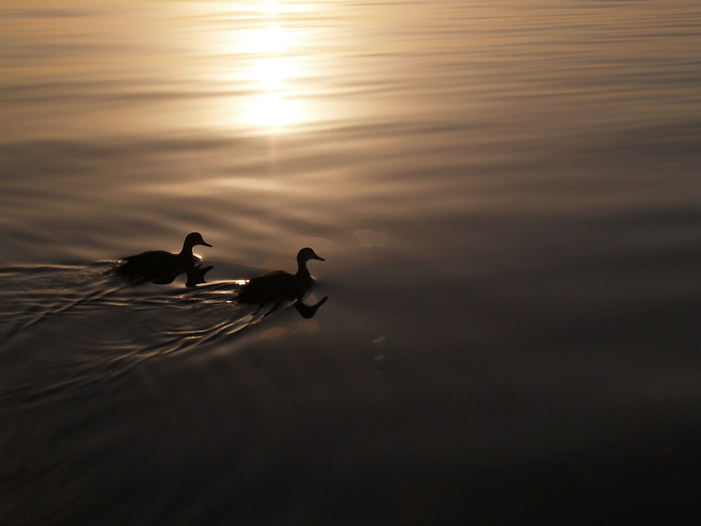 Ducks On A Golden Pond by Adrian Lord