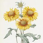 Vintage botanical illustration yellow sunflowers by P.J. Redoute. by naturematters
