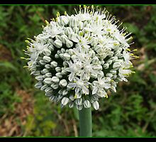 flower by Dino Dino