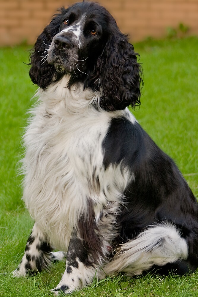 Springer Spaniel by Chris Clark