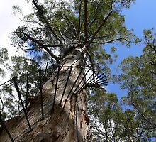 Gloucester Tree, Pemberton W.A. by Sandra Chung