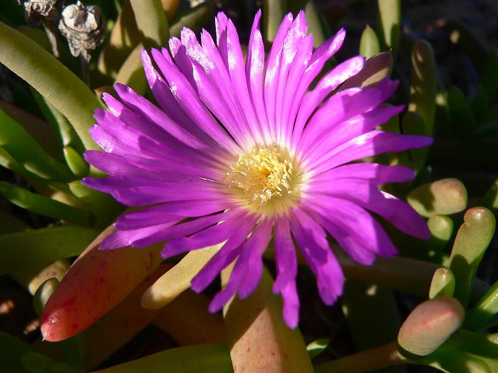 Desert Flower by Jacko