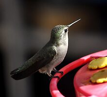 ADULT ANNA'S HUMMINGBIRD ON FEEDER PERCH by JAYMILO