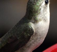 ADULT ANNA'S HUMMINGBIRD ON FEEDER PERCH Sticker