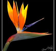 Bird of Paradise by Gerard Delany