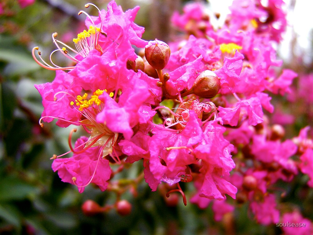 crepe myrtle by soulsease