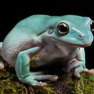 Whites tree frog by Angi Wallace