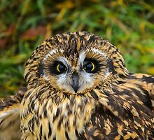short-eared owl by RevelstokeImage