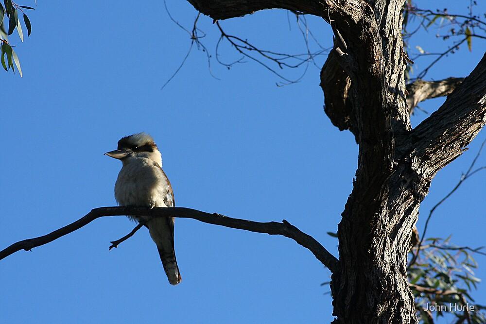 Kookaburra by John Hurle