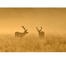 Two Stags Photographic Print