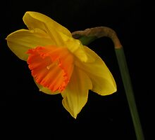 Daffodil by RosePhotography