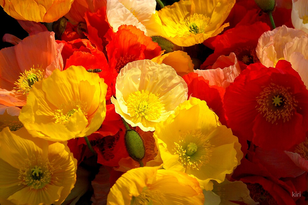 Poppies by kiri