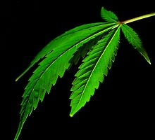 cannabis leaf by ladytwiglet
