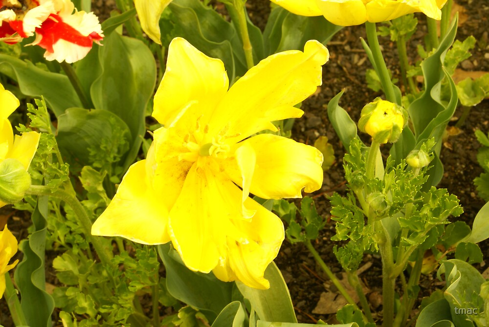 Yellow Flower, Floriade, Canberra, 2008 by tmac