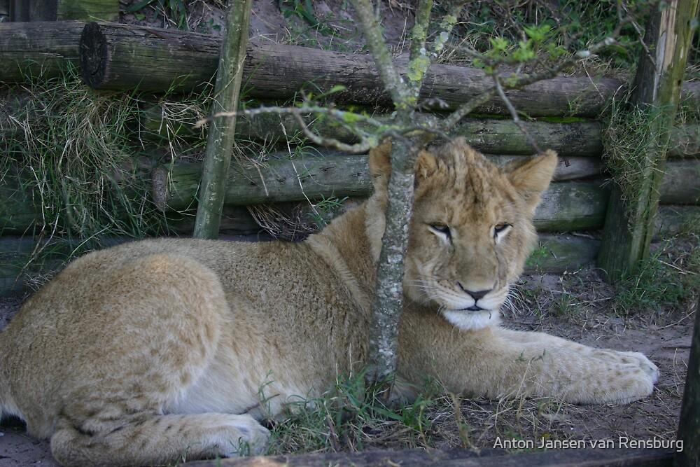 Lion by Anton Jansen van Rensburg