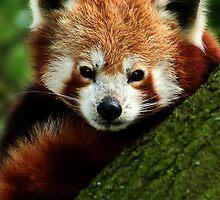 Red Panda by Moth
