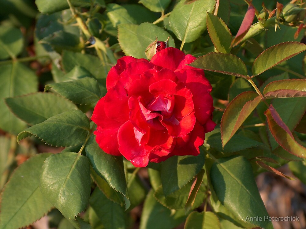 painted red rose by Annie Peterschick
