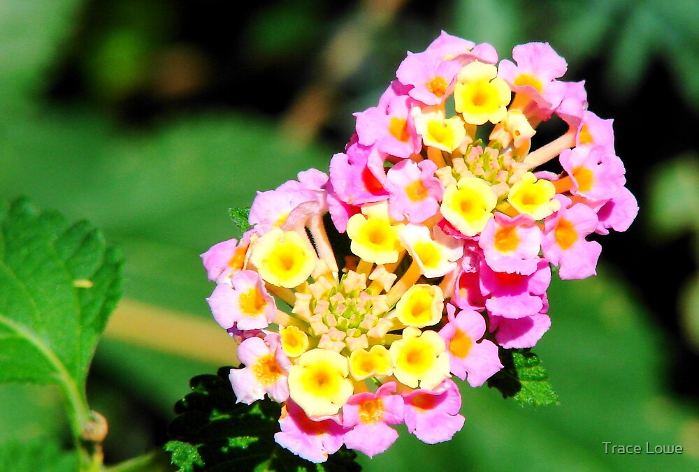 Bright Lantana  by Trace Lowe