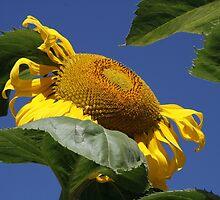 Sunflower by vernonite