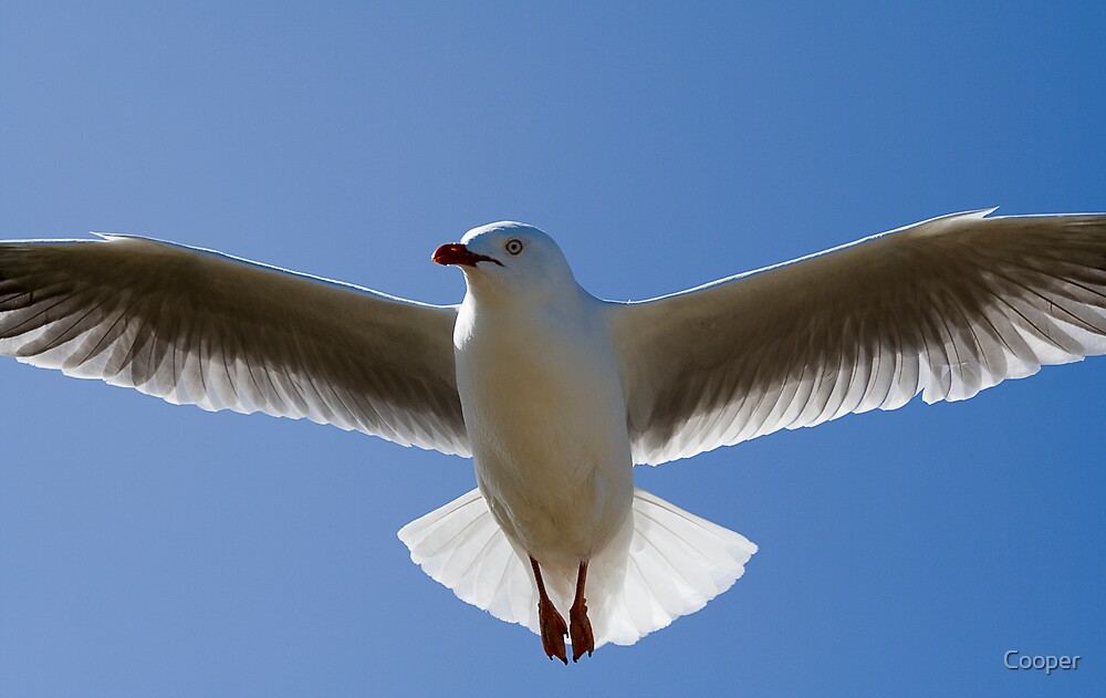 Seagull in flight by Cooper